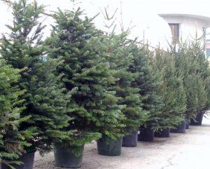 Quanto è alto un abete? – Conifera sempreverde simbolo del Natale