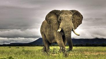 Quanto è alto un elefante africano